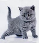 Британские котята из питомника британских кошек SILVERYSNOW